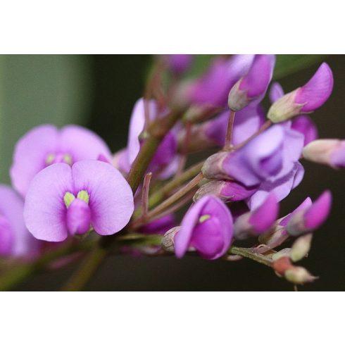 Hardenbergia violacea (Rosea) - Korallborsó - Rózsaszín - 5db mag/csomag