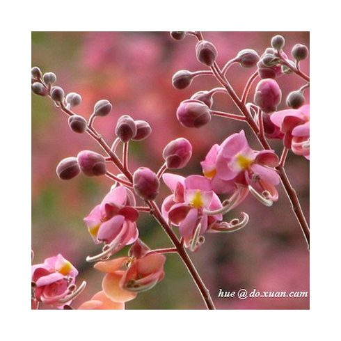 Cassia grandis- Pink kasszia - 5db mag/csomag