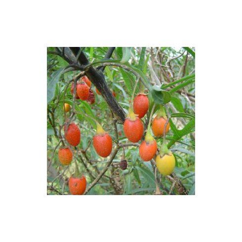 Solanum laciniatum - Kengurualma - 5db mag/csomag