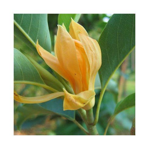 Magnolia champaca - Liliomfa - 5db mag/csomag