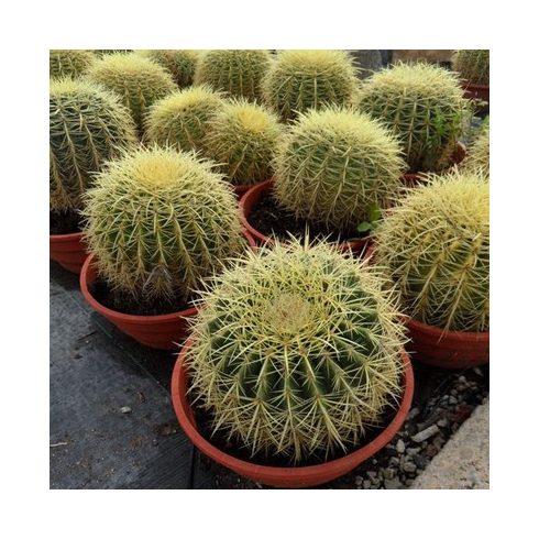Echinocactus grusonii - Óriás sünkaktusz - 5db mag/csomag