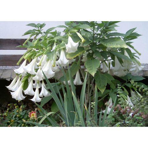 Brugmansia arborea - Angyaltrombita - Fehér - 5db mag/csomag