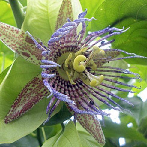 Passiflora maliformis - Édes lopótök - 5db mag/csomag