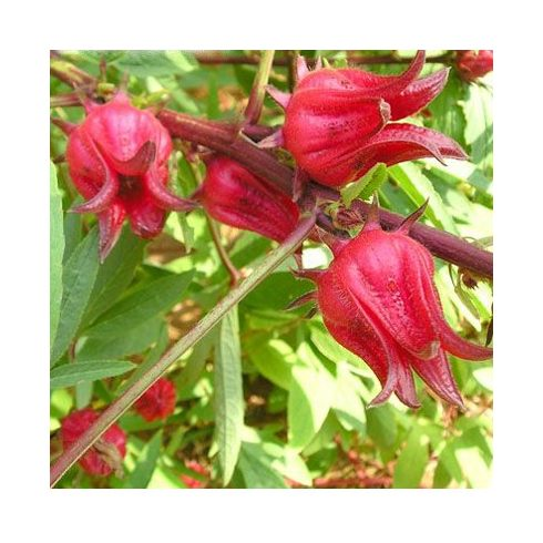 Hibiscus sabdariffa - Tea hibiszkusz - 5db mag/csomag