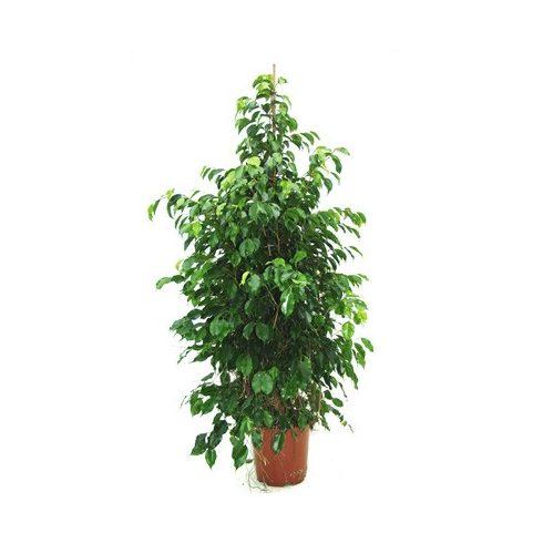Ficus benjamina - Csüngő fikusz - 5db mag/csomag