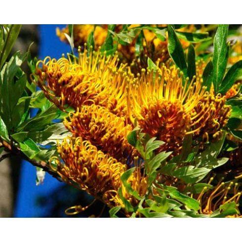 Grevillea robusta - Óriás grevillea - 5db mag/csomag