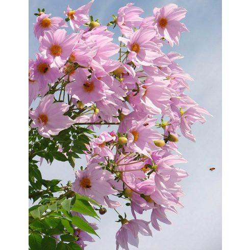 Dahlia imperialis - 5db mag/csomag