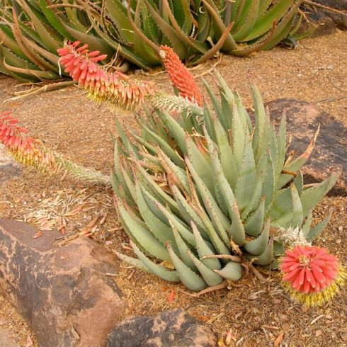 Aloe claviflora - Kraal Aloe - 5db mag/csomag