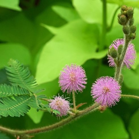 Mimosa pudica - Szemérmes mimóza - 5db mag/csomag