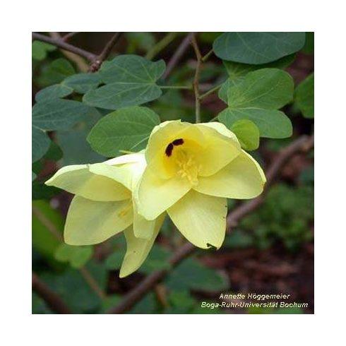Bauhinia tomentosa - Sárga virágú orhideafa - 5db mag/csomag