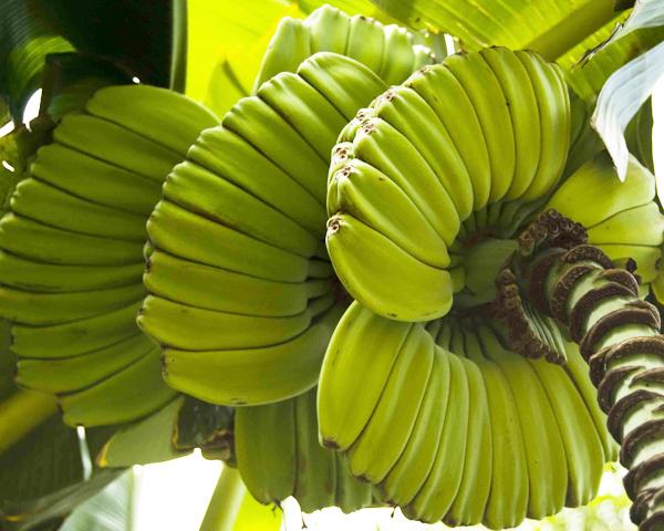 Banán fürtje