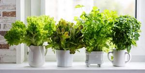 Fűszer- és gyógynövények szárítása, gyűjtése
