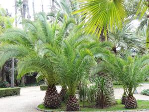 A pálmák kezelése és ápolása