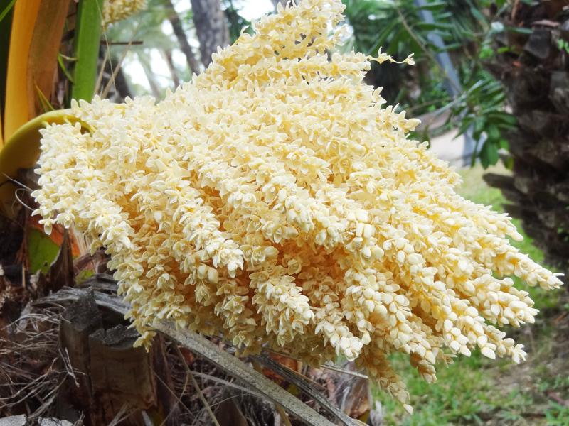 A pálma virágzata