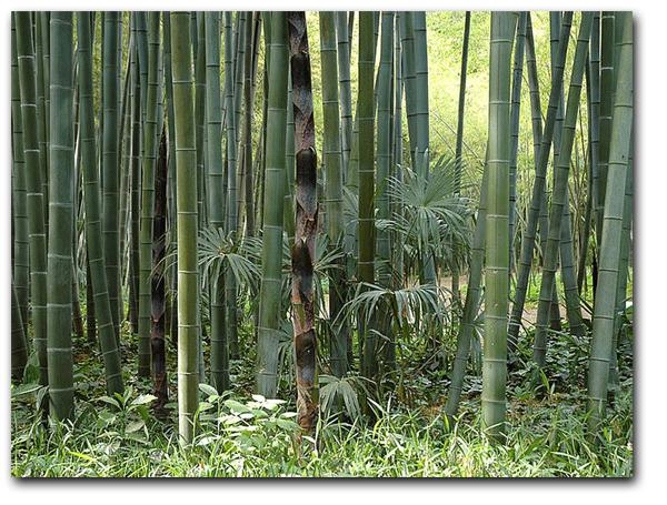 Phyllostachys pubescens - Moso bambusz